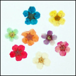 Exotic Dried Flowers - Tahiti-Colour-Blue